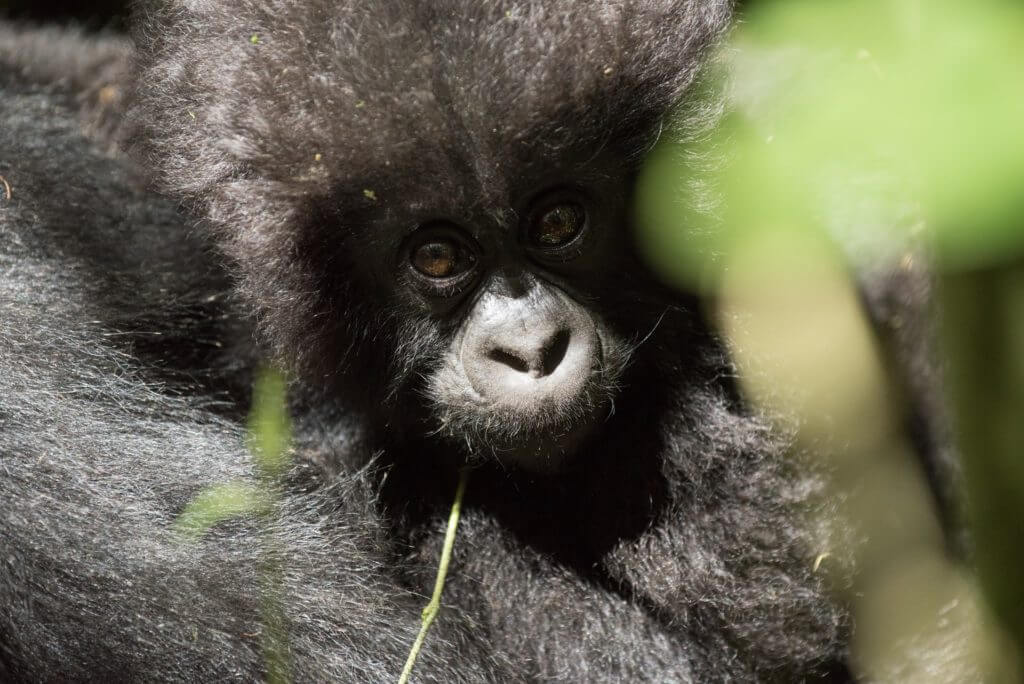 ERR Gorillamajandus Rwanda Mondo